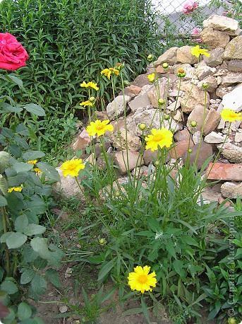 Вот такая красота радует, сейчас, нас!Много  лет мечтали  разводить розы, но все по какой-либо причине не могли.И  вот теперь мы можем наслаждаться  этим  зрелищем и ароматом.По истине роза КОРОЛЕВА цветов! фото 23