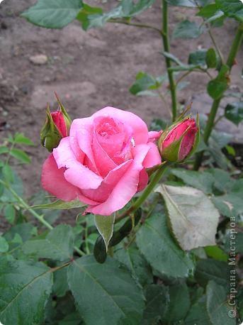 Вот такая красота радует, сейчас, нас!Много  лет мечтали  разводить розы, но все по какой-либо причине не могли.И  вот теперь мы можем наслаждаться  этим  зрелищем и ароматом.По истине роза КОРОЛЕВА цветов! фото 3