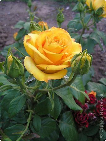 Вот такая красота радует, сейчас, нас!Много  лет мечтали  разводить розы, но все по какой-либо причине не могли.И  вот теперь мы можем наслаждаться  этим  зрелищем и ароматом.По истине роза КОРОЛЕВА цветов! фото 5