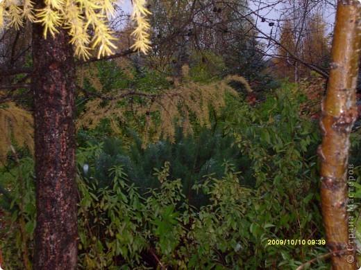 Приглашаю на прогулку по Соликамскому дендропарку......фотографии сняты в 2009 году, осенью.......  из истории :  самый первый Ботанически парк  на Руси  был основан в Соликамске   Г.А. Демидовым...... в нем насчитывалось более 1000 экземпляров........ фото 11