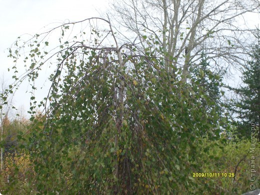 Приглашаю на прогулку по Соликамскому дендропарку......фотографии сняты в 2009 году, осенью.......  из истории :  самый первый Ботанически парк  на Руси  был основан в Соликамске   Г.А. Демидовым...... в нем насчитывалось более 1000 экземпляров........ фото 42