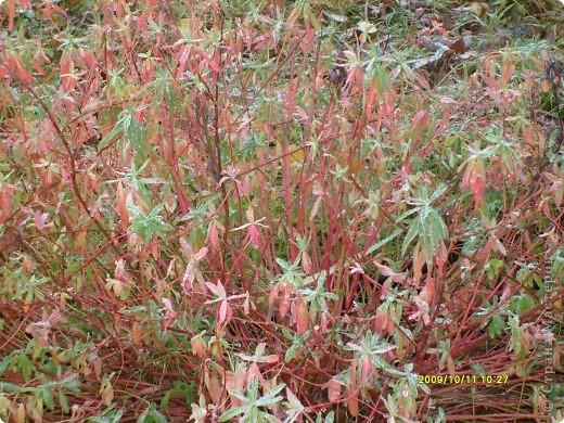 Приглашаю на прогулку по Соликамскому дендропарку......фотографии сняты в 2009 году, осенью.......  из истории :  самый первый Ботанически парк  на Руси  был основан в Соликамске   Г.А. Демидовым...... в нем насчитывалось более 1000 экземпляров........ фото 43
