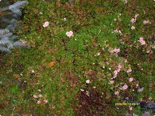 Приглашаю на прогулку по Соликамскому дендропарку......фотографии сняты в 2009 году, осенью.......  из истории :  самый первый Ботанически парк  на Руси  был основан в Соликамске   Г.А. Демидовым...... в нем насчитывалось более 1000 экземпляров........ фото 9