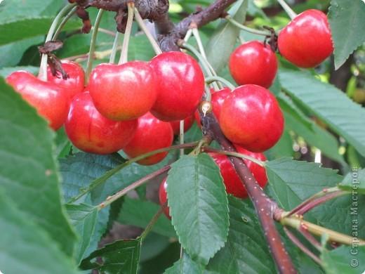 Во саду ли,в огороде, выросла черешня . фото 2