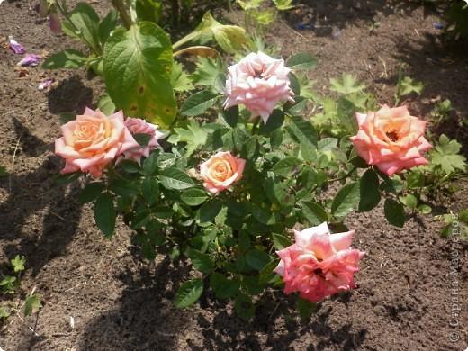 Вот такая роза-посадили только в этом году. фото 14