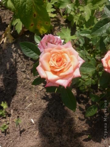 Вот такая роза-посадили только в этом году. фото 15
