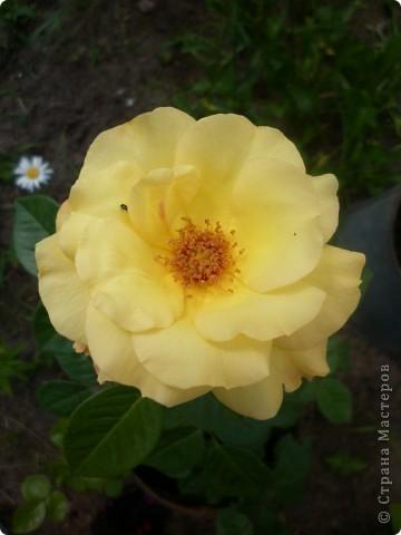 Вот такая роза-посадили только в этом году. фото 11