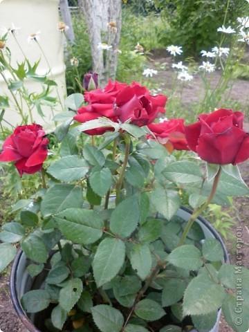 Вот такая роза-посадили только в этом году. фото 12