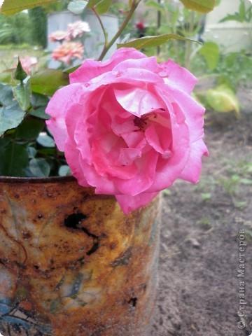 Вот такая роза-посадили только в этом году. фото 1