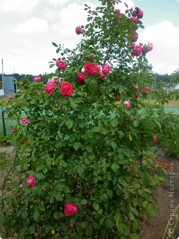 Вот такая роза-посадили только в этом году. фото 8