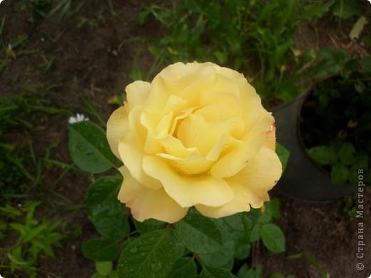 Вот такая роза-посадили только в этом году. фото 10