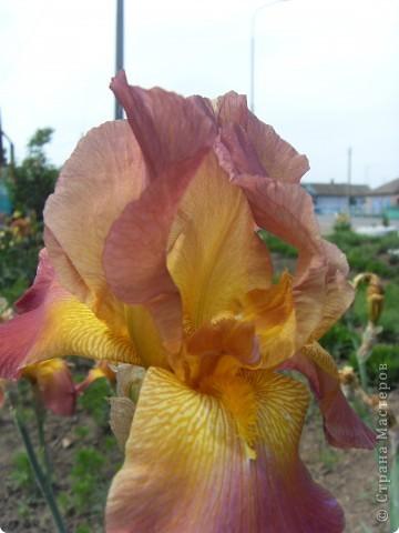 Розы конечно королевы среди цветов, но никто не сравнится с царственной красотой лилий фото 6