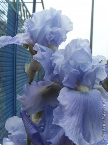 Розы конечно королевы среди цветов, но никто не сравнится с царственной красотой лилий фото 3