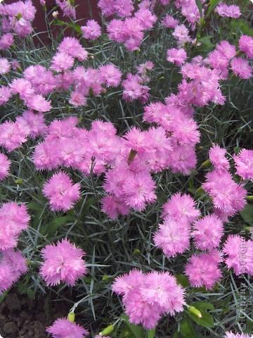 Розы конечно королевы среди цветов, но никто не сравнится с царственной красотой лилий фото 8