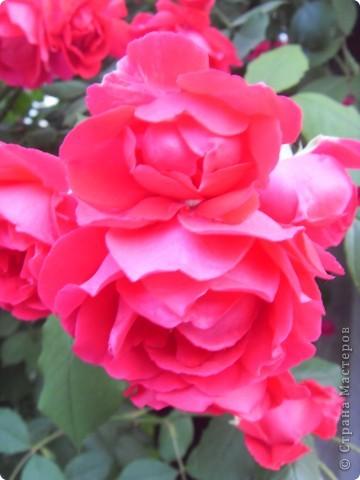 Розы конечно королевы среди цветов, но никто не сравнится с царственной красотой лилий фото 15