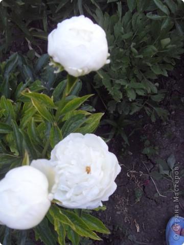 Розы конечно королевы среди цветов, но никто не сравнится с царственной красотой лилий фото 12