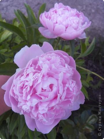 Розы конечно королевы среди цветов, но никто не сравнится с царственной красотой лилий фото 10