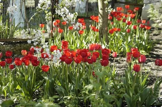Мои тюльпаны.Очень люблю тюльпаны за их неприхотливость и разнообразие. фото 4