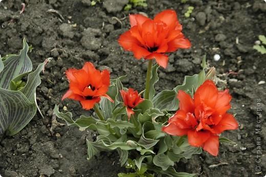 Мои тюльпаны.Очень люблю тюльпаны за их неприхотливость и разнообразие. фото 6