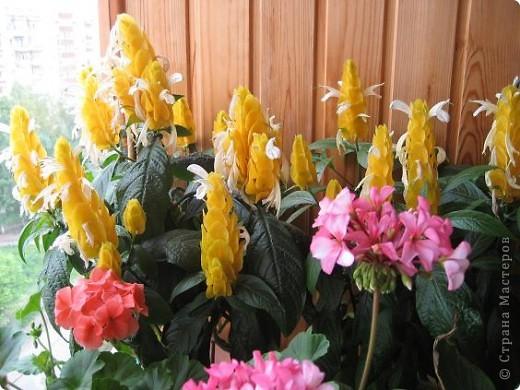 Позвольте мне немного рассказать об отдельной главе моего творчества. Это Цветы. Я очень люблю цветы и у меня дома их очень много. Все мои окна выходят на юг, и для одних цветов - это радость, а другим мешает расти. . Поэтому за годы я отобрала для себя такие цветы, которые хорошо чувствуют себя  в моей квартире. Кроме того, с весны и до поздней осени я развожу у себя на лоджии целый сад. Лоджия у меня небольшая, поэтому из года в год набор цветов меняется, не удается посадить все, что хочется, но неизменной остается пеларгония, к которой у меня особо теплые чувства. Пеларгония цветет с мая по ноябрь, и потом те цветы, что я планирую оставить на следующий год зимуют у меня в квартире и  у мамы на теплой лоджии, а остальные цветы  я отдаю всем, кто захочет с ними дружить. Пеларгония спокойно выносит температуру 45 градусов, которая в жаркий день бывает на лоджии, нужно просто не пересушивать ее и занавесить окно легким тюлем, что бы не было ожога листьев.   Это пахистасисы.Очень благодарные и оптимистичные цветы. Они цветут лавиной соцветий-свечей с февраля по май, а могут и дольше.  Вторая серия - в июле - августе.  фото 16
