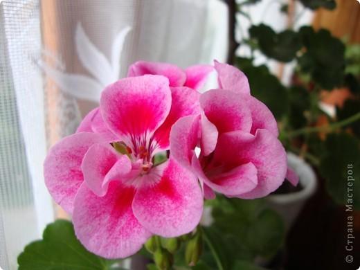 Позвольте мне немного рассказать об отдельной главе моего творчества. Это Цветы. Я очень люблю цветы и у меня дома их очень много. Все мои окна выходят на юг, и для одних цветов - это радость, а другим мешает расти. . Поэтому за годы я отобрала для себя такие цветы, которые хорошо чувствуют себя  в моей квартире. Кроме того, с весны и до поздней осени я развожу у себя на лоджии целый сад. Лоджия у меня небольшая, поэтому из года в год набор цветов меняется, не удается посадить все, что хочется, но неизменной остается пеларгония, к которой у меня особо теплые чувства. Пеларгония цветет с мая по ноябрь, и потом те цветы, что я планирую оставить на следующий год зимуют у меня в квартире и  у мамы на теплой лоджии, а остальные цветы  я отдаю всем, кто захочет с ними дружить. Пеларгония спокойно выносит температуру 45 градусов, которая в жаркий день бывает на лоджии, нужно просто не пересушивать ее и занавесить окно легким тюлем, что бы не было ожога листьев.   Это пахистасисы.Очень благодарные и оптимистичные цветы. Они цветут лавиной соцветий-свечей с февраля по май, а могут и дольше.  Вторая серия - в июле - августе.  фото 12