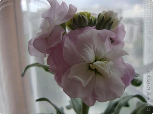 Позвольте мне немного рассказать об отдельной главе моего творчества. Это Цветы. Я очень люблю цветы и у меня дома их очень много. Все мои окна выходят на юг, и для одних цветов - это радость, а другим мешает расти. . Поэтому за годы я отобрала для себя такие цветы, которые хорошо чувствуют себя  в моей квартире. Кроме того, с весны и до поздней осени я развожу у себя на лоджии целый сад. Лоджия у меня небольшая, поэтому из года в год набор цветов меняется, не удается посадить все, что хочется, но неизменной остается пеларгония, к которой у меня особо теплые чувства. Пеларгония цветет с мая по ноябрь, и потом те цветы, что я планирую оставить на следующий год зимуют у меня в квартире и  у мамы на теплой лоджии, а остальные цветы  я отдаю всем, кто захочет с ними дружить. Пеларгония спокойно выносит температуру 45 градусов, которая в жаркий день бывает на лоджии, нужно просто не пересушивать ее и занавесить окно легким тюлем, что бы не было ожога листьев.   Это пахистасисы.Очень благодарные и оптимистичные цветы. Они цветут лавиной соцветий-свечей с февраля по май, а могут и дольше.  Вторая серия - в июле - августе.  фото 13