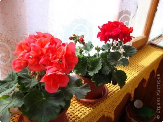 Позвольте мне немного рассказать об отдельной главе моего творчества. Это Цветы. Я очень люблю цветы и у меня дома их очень много. Все мои окна выходят на юг, и для одних цветов - это радость, а другим мешает расти. . Поэтому за годы я отобрала для себя такие цветы, которые хорошо чувствуют себя  в моей квартире. Кроме того, с весны и до поздней осени я развожу у себя на лоджии целый сад. Лоджия у меня небольшая, поэтому из года в год набор цветов меняется, не удается посадить все, что хочется, но неизменной остается пеларгония, к которой у меня особо теплые чувства. Пеларгония цветет с мая по ноябрь, и потом те цветы, что я планирую оставить на следующий год зимуют у меня в квартире и  у мамы на теплой лоджии, а остальные цветы  я отдаю всем, кто захочет с ними дружить. Пеларгония спокойно выносит температуру 45 градусов, которая в жаркий день бывает на лоджии, нужно просто не пересушивать ее и занавесить окно легким тюлем, что бы не было ожога листьев.   Это пахистасисы.Очень благодарные и оптимистичные цветы. Они цветут лавиной соцветий-свечей с февраля по май, а могут и дольше.  Вторая серия - в июле - августе.  фото 5
