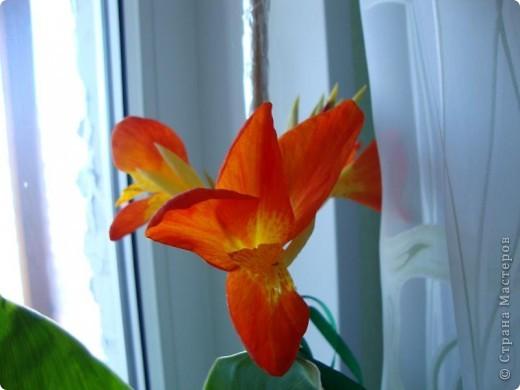 Позвольте мне немного рассказать об отдельной главе моего творчества. Это Цветы. Я очень люблю цветы и у меня дома их очень много. Все мои окна выходят на юг, и для одних цветов - это радость, а другим мешает расти. . Поэтому за годы я отобрала для себя такие цветы, которые хорошо чувствуют себя  в моей квартире. Кроме того, с весны и до поздней осени я развожу у себя на лоджии целый сад. Лоджия у меня небольшая, поэтому из года в год набор цветов меняется, не удается посадить все, что хочется, но неизменной остается пеларгония, к которой у меня особо теплые чувства. Пеларгония цветет с мая по ноябрь, и потом те цветы, что я планирую оставить на следующий год зимуют у меня в квартире и  у мамы на теплой лоджии, а остальные цветы  я отдаю всем, кто захочет с ними дружить. Пеларгония спокойно выносит температуру 45 градусов, которая в жаркий день бывает на лоджии, нужно просто не пересушивать ее и занавесить окно легким тюлем, что бы не было ожога листьев.   Это пахистасисы.Очень благодарные и оптимистичные цветы. Они цветут лавиной соцветий-свечей с февраля по май, а могут и дольше.  Вторая серия - в июле - августе.  фото 4