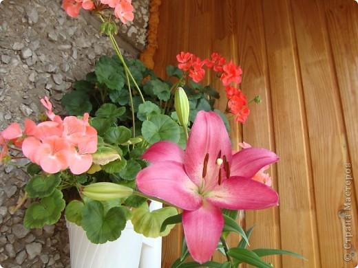 Позвольте мне немного рассказать об отдельной главе моего творчества. Это Цветы. Я очень люблю цветы и у меня дома их очень много. Все мои окна выходят на юг, и для одних цветов - это радость, а другим мешает расти. . Поэтому за годы я отобрала для себя такие цветы, которые хорошо чувствуют себя  в моей квартире. Кроме того, с весны и до поздней осени я развожу у себя на лоджии целый сад. Лоджия у меня небольшая, поэтому из года в год набор цветов меняется, не удается посадить все, что хочется, но неизменной остается пеларгония, к которой у меня особо теплые чувства. Пеларгония цветет с мая по ноябрь, и потом те цветы, что я планирую оставить на следующий год зимуют у меня в квартире и  у мамы на теплой лоджии, а остальные цветы  я отдаю всем, кто захочет с ними дружить. Пеларгония спокойно выносит температуру 45 градусов, которая в жаркий день бывает на лоджии, нужно просто не пересушивать ее и занавесить окно легким тюлем, что бы не было ожога листьев.   Это пахистасисы.Очень благодарные и оптимистичные цветы. Они цветут лавиной соцветий-свечей с февраля по май, а могут и дольше.  Вторая серия - в июле - августе.  фото 8