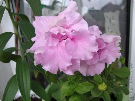 Позвольте мне немного рассказать об отдельной главе моего творчества. Это Цветы. Я очень люблю цветы и у меня дома их очень много. Все мои окна выходят на юг, и для одних цветов - это радость, а другим мешает расти. . Поэтому за годы я отобрала для себя такие цветы, которые хорошо чувствуют себя  в моей квартире. Кроме того, с весны и до поздней осени я развожу у себя на лоджии целый сад. Лоджия у меня небольшая, поэтому из года в год набор цветов меняется, не удается посадить все, что хочется, но неизменной остается пеларгония, к которой у меня особо теплые чувства. Пеларгония цветет с мая по ноябрь, и потом те цветы, что я планирую оставить на следующий год зимуют у меня в квартире и  у мамы на теплой лоджии, а остальные цветы  я отдаю всем, кто захочет с ними дружить. Пеларгония спокойно выносит температуру 45 градусов, которая в жаркий день бывает на лоджии, нужно просто не пересушивать ее и занавесить окно легким тюлем, что бы не было ожога листьев.   Это пахистасисы.Очень благодарные и оптимистичные цветы. Они цветут лавиной соцветий-свечей с февраля по май, а могут и дольше.  Вторая серия - в июле - августе.  фото 11