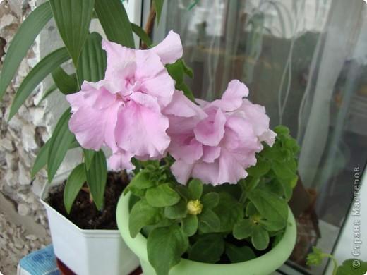 Позвольте мне немного рассказать об отдельной главе моего творчества. Это Цветы. Я очень люблю цветы и у меня дома их очень много. Все мои окна выходят на юг, и для одних цветов - это радость, а другим мешает расти. . Поэтому за годы я отобрала для себя такие цветы, которые хорошо чувствуют себя  в моей квартире. Кроме того, с весны и до поздней осени я развожу у себя на лоджии целый сад. Лоджия у меня небольшая, поэтому из года в год набор цветов меняется, не удается посадить все, что хочется, но неизменной остается пеларгония, к которой у меня особо теплые чувства. Пеларгония цветет с мая по ноябрь, и потом те цветы, что я планирую оставить на следующий год зимуют у меня в квартире и  у мамы на теплой лоджии, а остальные цветы  я отдаю всем, кто захочет с ними дружить. Пеларгония спокойно выносит температуру 45 градусов, которая в жаркий день бывает на лоджии, нужно просто не пересушивать ее и занавесить окно легким тюлем, что бы не было ожога листьев.   Это пахистасисы.Очень благодарные и оптимистичные цветы. Они цветут лавиной соцветий-свечей с февраля по май, а могут и дольше.  Вторая серия - в июле - августе.  фото 10
