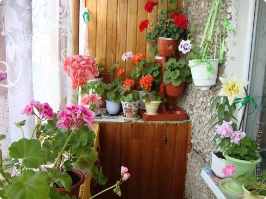Позвольте мне немного рассказать об отдельной главе моего творчества. Это Цветы. Я очень люблю цветы и у меня дома их очень много. Все мои окна выходят на юг, и для одних цветов - это радость, а другим мешает расти. . Поэтому за годы я отобрала для себя такие цветы, которые хорошо чувствуют себя  в моей квартире. Кроме того, с весны и до поздней осени я развожу у себя на лоджии целый сад. Лоджия у меня небольшая, поэтому из года в год набор цветов меняется, не удается посадить все, что хочется, но неизменной остается пеларгония, к которой у меня особо теплые чувства. Пеларгония цветет с мая по ноябрь, и потом те цветы, что я планирую оставить на следующий год зимуют у меня в квартире и  у мамы на теплой лоджии, а остальные цветы  я отдаю всем, кто захочет с ними дружить. Пеларгония спокойно выносит температуру 45 градусов, которая в жаркий день бывает на лоджии, нужно просто не пересушивать ее и занавесить окно легким тюлем, что бы не было ожога листьев.   Это пахистасисы.Очень благодарные и оптимистичные цветы. Они цветут лавиной соцветий-свечей с февраля по май, а могут и дольше.  Вторая серия - в июле - августе.  фото 6