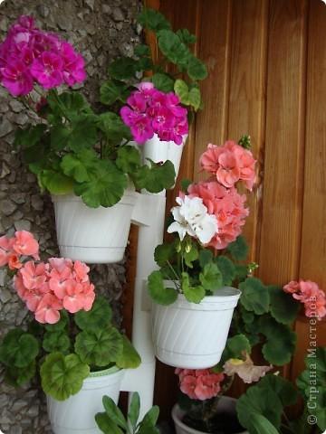 Позвольте мне немного рассказать об отдельной главе моего творчества. Это Цветы. Я очень люблю цветы и у меня дома их очень много. Все мои окна выходят на юг, и для одних цветов - это радость, а другим мешает расти. . Поэтому за годы я отобрала для себя такие цветы, которые хорошо чувствуют себя  в моей квартире. Кроме того, с весны и до поздней осени я развожу у себя на лоджии целый сад. Лоджия у меня небольшая, поэтому из года в год набор цветов меняется, не удается посадить все, что хочется, но неизменной остается пеларгония, к которой у меня особо теплые чувства. Пеларгония цветет с мая по ноябрь, и потом те цветы, что я планирую оставить на следующий год зимуют у меня в квартире и  у мамы на теплой лоджии, а остальные цветы  я отдаю всем, кто захочет с ними дружить. Пеларгония спокойно выносит температуру 45 градусов, которая в жаркий день бывает на лоджии, нужно просто не пересушивать ее и занавесить окно легким тюлем, что бы не было ожога листьев.   Это пахистасисы.Очень благодарные и оптимистичные цветы. Они цветут лавиной соцветий-свечей с февраля по май, а могут и дольше.  Вторая серия - в июле - августе.  фото 7