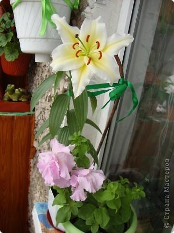 Позвольте мне немного рассказать об отдельной главе моего творчества. Это Цветы. Я очень люблю цветы и у меня дома их очень много. Все мои окна выходят на юг, и для одних цветов - это радость, а другим мешает расти. . Поэтому за годы я отобрала для себя такие цветы, которые хорошо чувствуют себя  в моей квартире. Кроме того, с весны и до поздней осени я развожу у себя на лоджии целый сад. Лоджия у меня небольшая, поэтому из года в год набор цветов меняется, не удается посадить все, что хочется, но неизменной остается пеларгония, к которой у меня особо теплые чувства. Пеларгония цветет с мая по ноябрь, и потом те цветы, что я планирую оставить на следующий год зимуют у меня в квартире и  у мамы на теплой лоджии, а остальные цветы  я отдаю всем, кто захочет с ними дружить. Пеларгония спокойно выносит температуру 45 градусов, которая в жаркий день бывает на лоджии, нужно просто не пересушивать ее и занавесить окно легким тюлем, что бы не было ожога листьев.   Это пахистасисы.Очень благодарные и оптимистичные цветы. Они цветут лавиной соцветий-свечей с февраля по май, а могут и дольше.  Вторая серия - в июле - августе.  фото 9