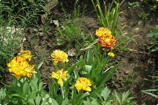 Мои тюльпаны.Очень люблю тюльпаны за их неприхотливость и разнообразие. фото 1