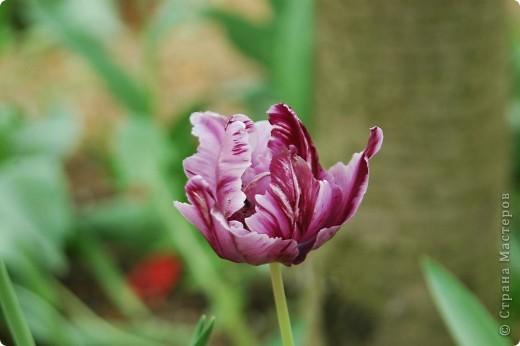 Мои тюльпаны.Очень люблю тюльпаны за их неприхотливость и разнообразие. фото 5