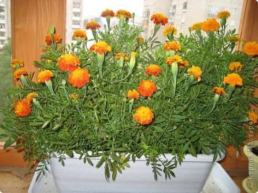 Позвольте мне немного рассказать об отдельной главе моего творчества. Это Цветы. Я очень люблю цветы и у меня дома их очень много. Все мои окна выходят на юг, и для одних цветов - это радость, а другим мешает расти. . Поэтому за годы я отобрала для себя такие цветы, которые хорошо чувствуют себя  в моей квартире. Кроме того, с весны и до поздней осени я развожу у себя на лоджии целый сад. Лоджия у меня небольшая, поэтому из года в год набор цветов меняется, не удается посадить все, что хочется, но неизменной остается пеларгония, к которой у меня особо теплые чувства. Пеларгония цветет с мая по ноябрь, и потом те цветы, что я планирую оставить на следующий год зимуют у меня в квартире и  у мамы на теплой лоджии, а остальные цветы  я отдаю всем, кто захочет с ними дружить. Пеларгония спокойно выносит температуру 45 градусов, которая в жаркий день бывает на лоджии, нужно просто не пересушивать ее и занавесить окно легким тюлем, что бы не было ожога листьев.   Это пахистасисы.Очень благодарные и оптимистичные цветы. Они цветут лавиной соцветий-свечей с февраля по май, а могут и дольше.  Вторая серия - в июле - августе.  фото 14