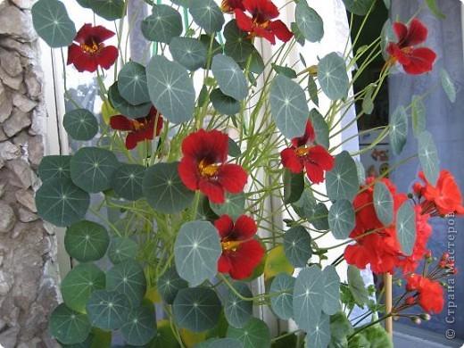 Позвольте мне немного рассказать об отдельной главе моего творчества. Это Цветы. Я очень люблю цветы и у меня дома их очень много. Все мои окна выходят на юг, и для одних цветов - это радость, а другим мешает расти. . Поэтому за годы я отобрала для себя такие цветы, которые хорошо чувствуют себя  в моей квартире. Кроме того, с весны и до поздней осени я развожу у себя на лоджии целый сад. Лоджия у меня небольшая, поэтому из года в год набор цветов меняется, не удается посадить все, что хочется, но неизменной остается пеларгония, к которой у меня особо теплые чувства. Пеларгония цветет с мая по ноябрь, и потом те цветы, что я планирую оставить на следующий год зимуют у меня в квартире и  у мамы на теплой лоджии, а остальные цветы  я отдаю всем, кто захочет с ними дружить. Пеларгония спокойно выносит температуру 45 градусов, которая в жаркий день бывает на лоджии, нужно просто не пересушивать ее и занавесить окно легким тюлем, что бы не было ожога листьев.   Это пахистасисы.Очень благодарные и оптимистичные цветы. Они цветут лавиной соцветий-свечей с февраля по май, а могут и дольше.  Вторая серия - в июле - августе.  фото 15