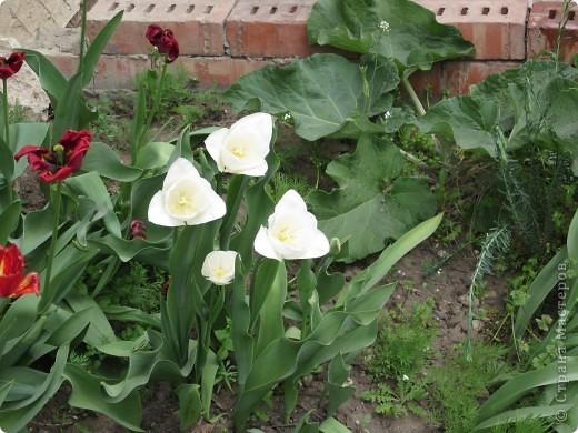 Мои тюльпаны.Очень люблю тюльпаны за их неприхотливость и разнообразие. фото 9