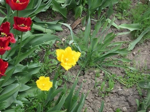 Мои тюльпаны.Очень люблю тюльпаны за их неприхотливость и разнообразие. фото 8