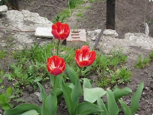Мои тюльпаны.Очень люблю тюльпаны за их неприхотливость и разнообразие. фото 11