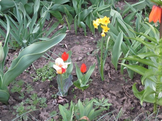 Мои тюльпаны.Очень люблю тюльпаны за их неприхотливость и разнообразие. фото 7