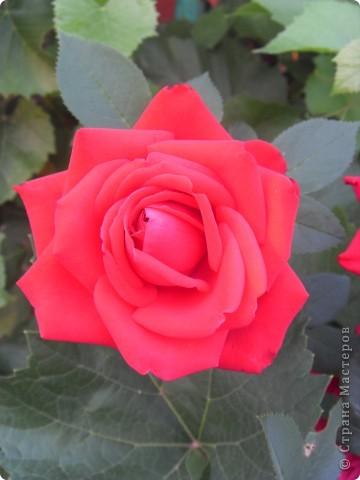 Розы конечно королевы среди цветов, но никто не сравнится с царственной красотой лилий фото 18