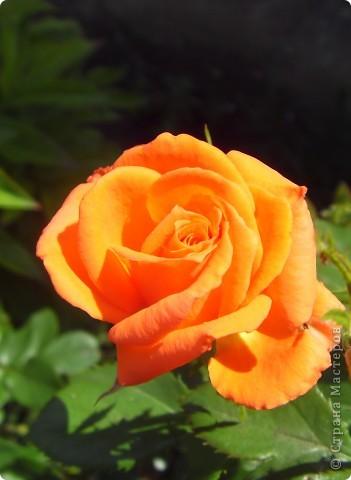 Розы конечно королевы среди цветов, но никто не сравнится с царственной красотой лилий фото 16