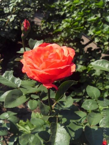 Розы конечно королевы среди цветов, но никто не сравнится с царственной красотой лилий фото 17