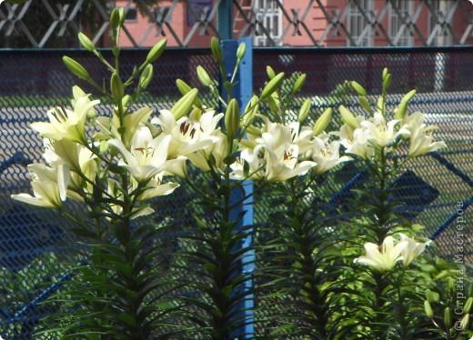 Розы конечно королевы среди цветов, но никто не сравнится с царственной красотой лилий фото 21