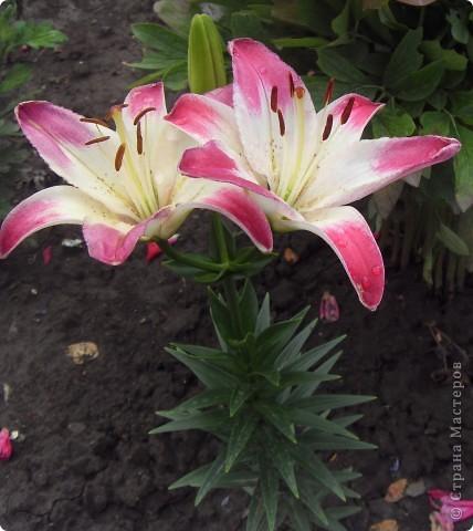 Розы конечно королевы среди цветов, но никто не сравнится с царственной красотой лилий фото 23