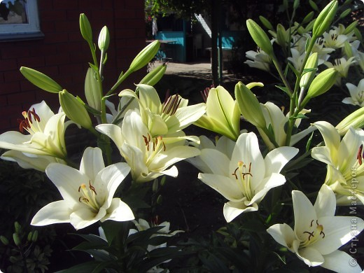 Розы конечно королевы среди цветов, но никто не сравнится с царственной красотой лилий фото 25