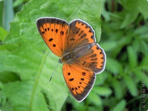 Бабочка красавица. фото 1