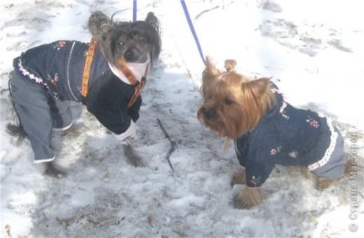 Разрешите вам представить двух модниц -ФиФочка(йорк) и Лёся(китайская хохлатая) фото 1